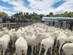 Mt Cass two-tooth Wiltshire ewes sold for $375 to a gallery of willing buyers.