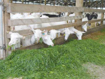 Green pasture supplies high levels of potassium and vitamin E to goats.