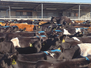 Hot cows affect reproduction