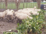 Warnings for wintering ewes on fodder beet
