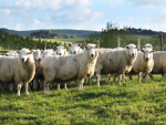 Wool bouncing back?