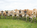 Jersey cows are shown to be more susceptible to Johne's disease.