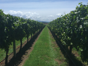 One of the Sauvignon Blanc vineyards in the deficit trial, shows the difference in canopy and undervine weed growth. Deficit irrigation vines are on the left, control vines on the right.