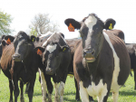 The national in-calf rate target is 78%.