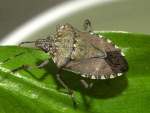 New trap for brown marmorated stink bugs