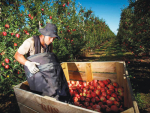 The apple industry is facing a labour shortage this harvest season.