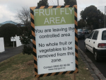 Another fruit fly discovery in Auckland