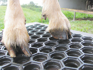 Trimming goats' hooves