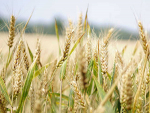 Export prices for wheat, maize, sorghum and rice all rose in December.