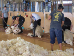 Farmers crying out for overseas shearers