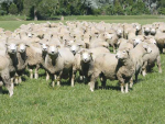 A free trade deal with Australia or New Zealand could have a catastrophic effect on UK sheep farmers, says NSA chief executive Phil Stocker.