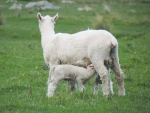 Easy lambing with lambs that grow