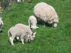 Sheep and beef farmers, especially in the South Island, are going to take a substantial hit in their incomes this year as lamb prices weaken.