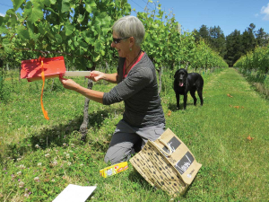 Marilyn Duxson with mealybug monitoring pheremone traps.