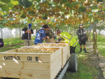 Kiwifruit in the fast lane