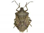 High alert for stink bugs
