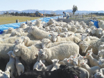 Get a feel for ewes' body condition