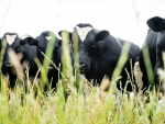 Two new herds under TB investigation in Hawke's Bay