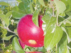 The 'HOT841A' apple is receiving rave reviews from growers in Italy, France and the UK.