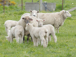 Sheep numbers continue to fall.
