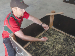 Matthew Falloon inspects a harvest of asparagus seed. The seed, still mixed with some plant debris at this stage, is being dried in a bin with warm air percolating up from a grille in the bottom of the bin. Photo: Rural News Group.