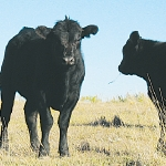 Beef prices to firm