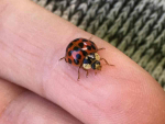 Adult harlequin ladybird. Photo: Vaughn Bell and Tara Taylor, Plant & Food Research.