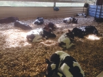 A pen of calves resting and recovering after disbudding. The combination of a sedative, local anaesthetic and an anti-inflammatory minimises the pain and stress associated with the procedure.