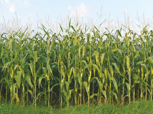 Maize silage and maize grain are both low protein feeds that have the effect of reducing dietary protein and therefore urinary nitrogen.