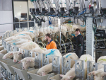 Sheep milking farmers wanted