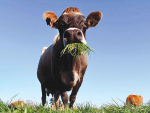 Proper nutrition pre-calving boosts yield
