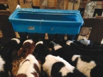 The timing of the first feed of colostrum is crucial.