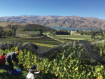 Organic winegrowing in Central Otago