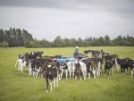 Protect calves from Mycoplasma bovis