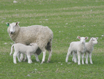 Lambs born to ewes with udder defects are three-five times more likely to die.