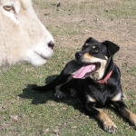 Dose dogs for sheep measles or leave them at home.