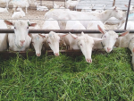 NZ dairy goat industry seeks data, eyes expansion