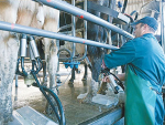 Halving bulk milk somatic cell counts from 300,000 to 150,000 is estimated to increase total season milksolids by 2.1%.
