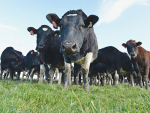 A second farm in the North Island has tested positive with Mycoplasma bovis.