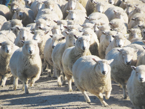 It is estimated that 2-10% of the national flock is affected by flystrike annually, costing millions in economic effects.