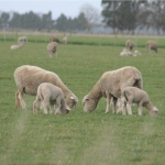 Challenges for sheepmeat