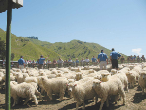 Farming for more and better lambs