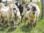 Simplicity key to successful goat farming