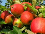 What's next for the apple and stonefruit industry?