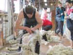 Research has shown that shearing ewes in mid pregnancy can increase multiple-born lamb birthweights.