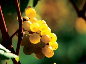 UV light is essential for fruit development – but too much can be detrimental to the ensuing wine.