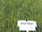 Tetraploid pastures like Base AR37 are higher in sugars and more palatable.