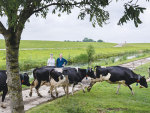 More Dutch farmers are grazing cows outdoors.