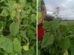 Left: Velvetleaf plant in fodder beet crop. Right: Velvetleaf plants grow from 1m to 2.5m tall. Image: MPI.
