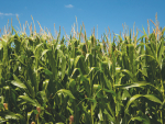 Insufficient contract maize was grown this season, contributing to a feed shortage in drought conditions.